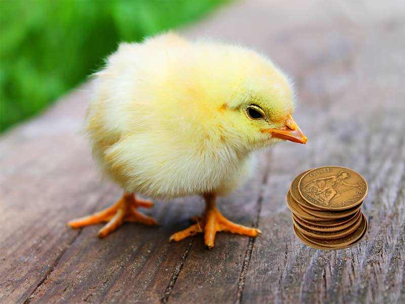 Baby chick staring at pennies